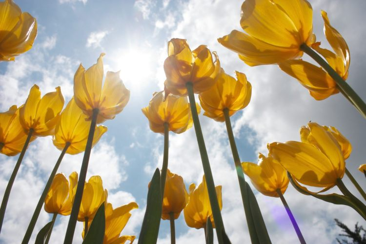 yellow tulips against sky